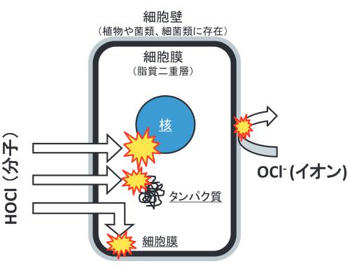 次亜塩素酸は細胞膜を通過して細胞内を破壊できる